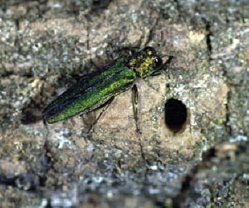 Emerald Ash Borer (EAB) with Exit Hole