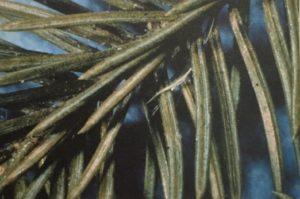 Tree Service, spider mites on spruce tree